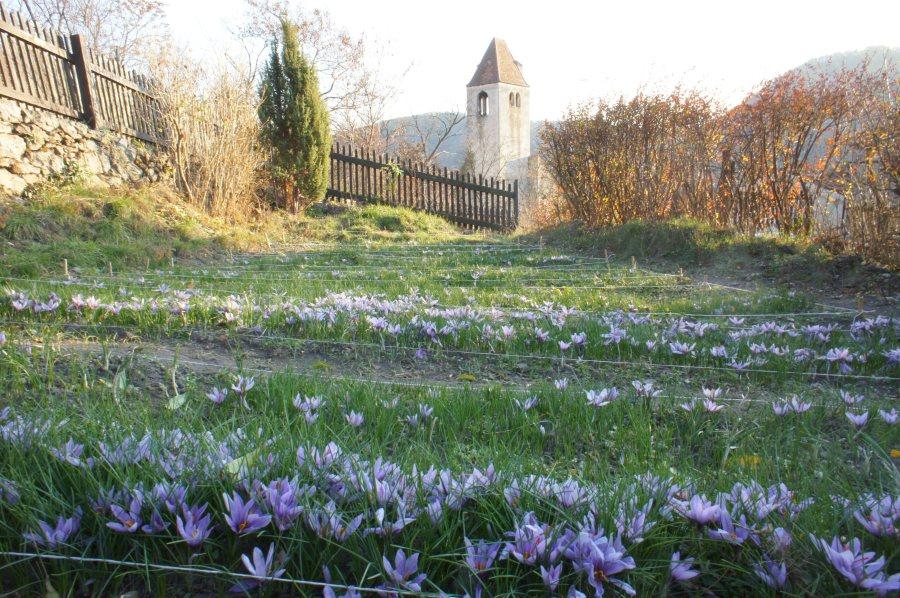 In der Wachau wurde bereits vor Jahrhunderten Safran angebaut.